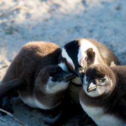 Boulders Beach – African Penguins